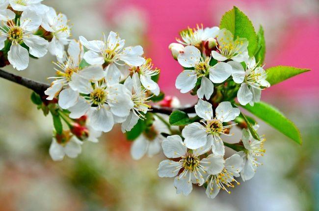 весна цветет вишня
